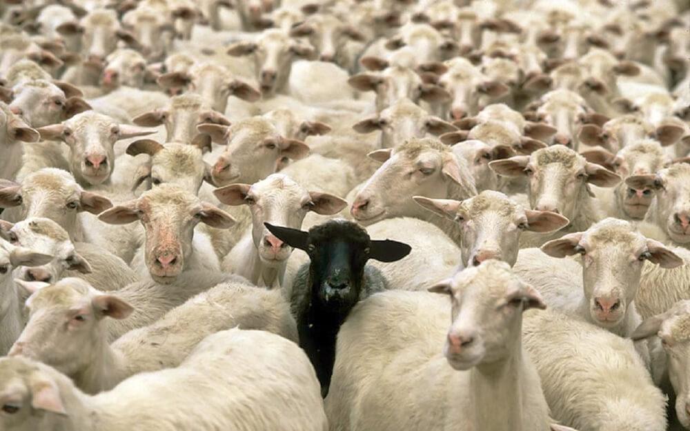 Large One Black Sheep Herd Animals Hd Wallpaper 1875640